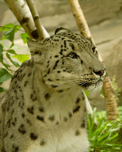 Snow Leopard