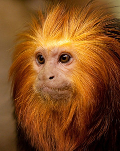 Golden Tamarin Profile