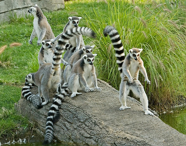 Group of curious Lemurs