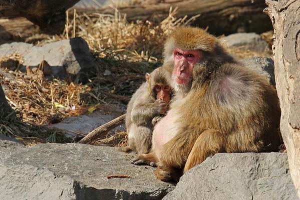 Snow Monkey (Macaca fuscata)