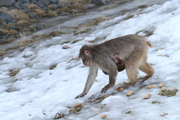 Snow Monkey With Young (Macaca fuscata)
