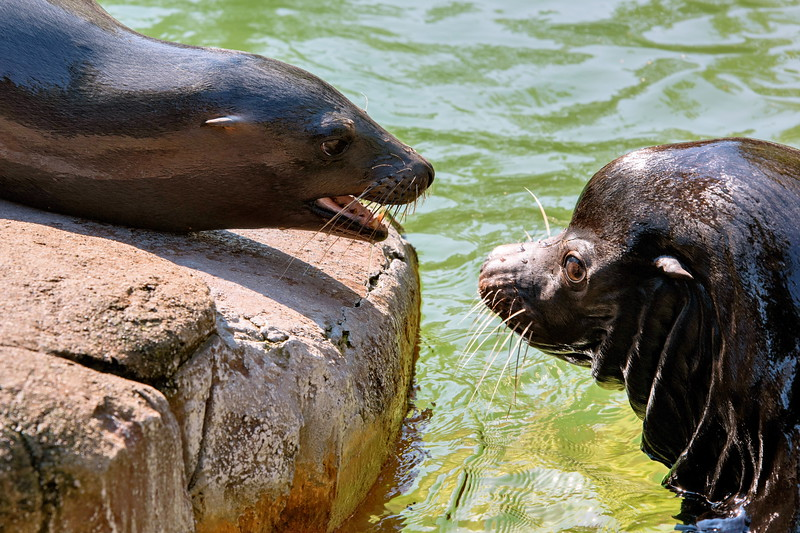 Seelöwen  (sea lion) Zolli Basel