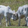 Brahman Cattle