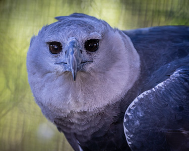 Harpy eagle Ka-ata-killa