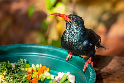 A green wood hoopoe