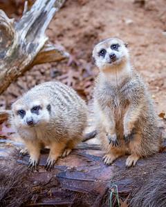 Meerkat Curiosity