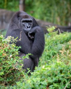 Megan, a female western lowland gorilla