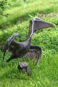 Eastern brown pelican