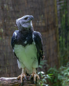 Harpy Eagle Killa