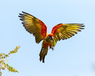 Free flying macaw