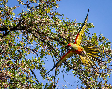 Free Flying Macaw