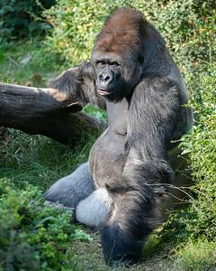 Western Lowland Gorilla Juba