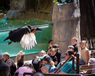 Southern Ground Hornbill in Flight
