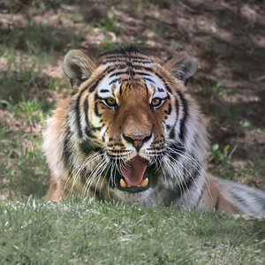 Tiger in South Africa Zoo
