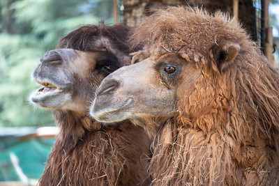 Camel Chat