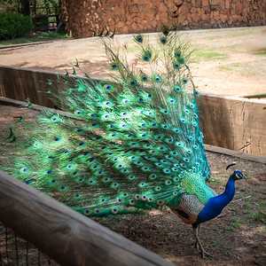 Peacock of Johannesburg