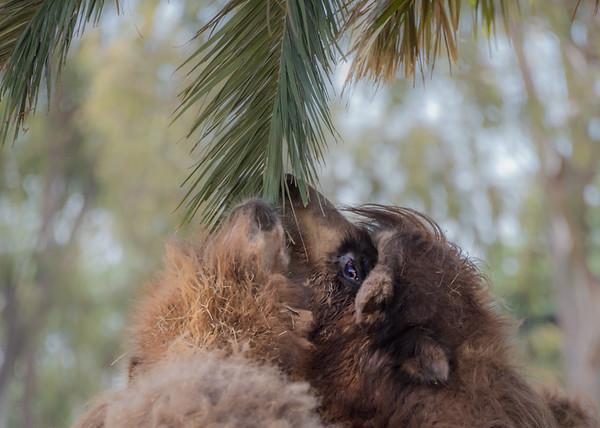 Camel Snack