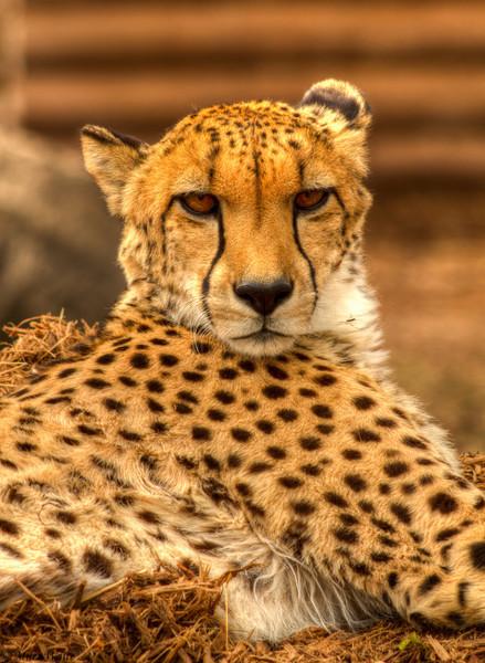Cheetahs Katili (Kah-ti-lee) Female, and male Barafu (Bah-rah-foo).