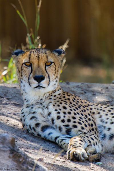 I_See_You_OP<br /> Cheetahs Katili (Kah-ti-lee) Female, and male Barafu (Bah-rah-foo).