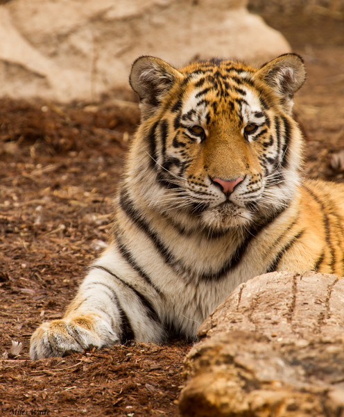 Amur Tigers. Female Cubs Zaria and Akasha, Males Nikolai and Thimbu. Mother Koshka
