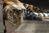 Amur Tigers. Female Cubs Zaria and Akasha, Males Nikolai and Thimbu. Mother Koshka