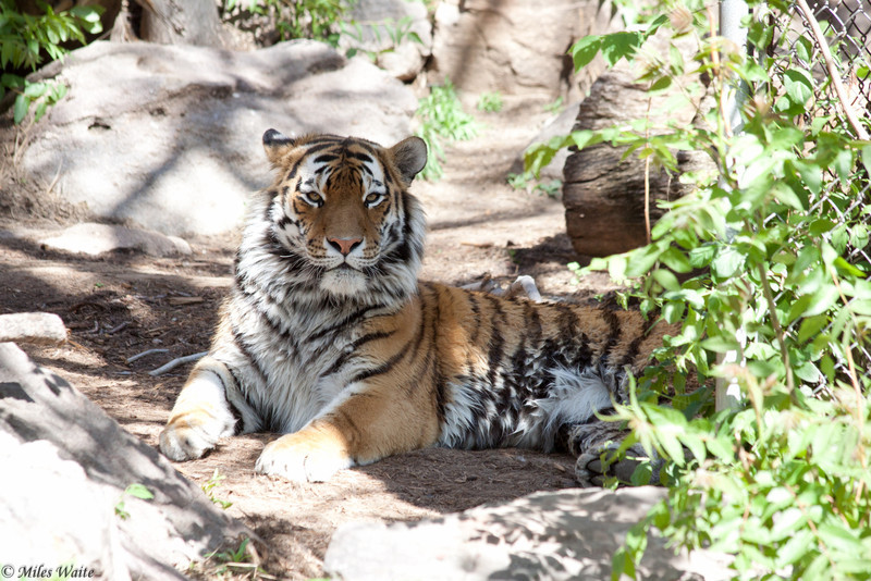 Amur Tiger Koshka