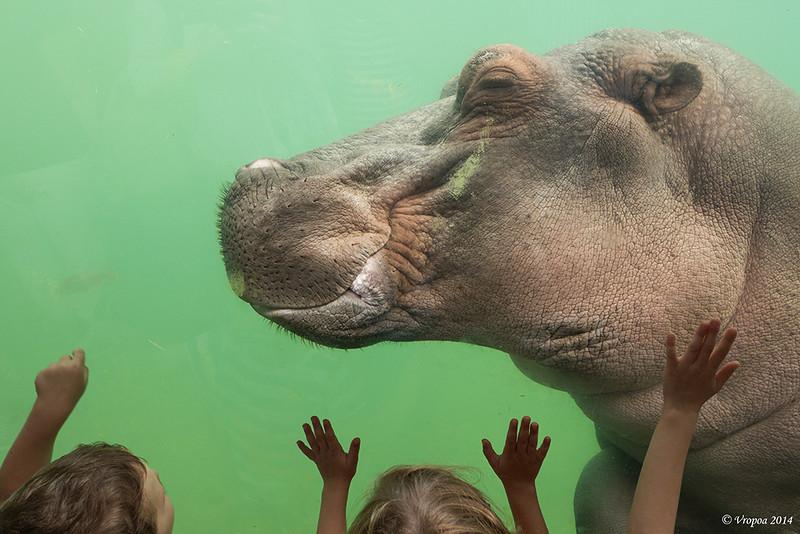 Jong nijlpaard Pairi Daiza.