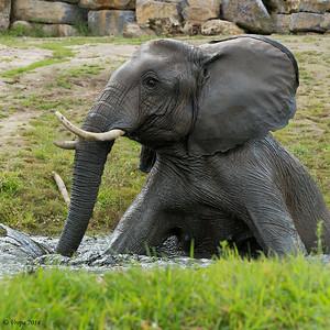 Afrikaanse olifant Pairi Daiza.