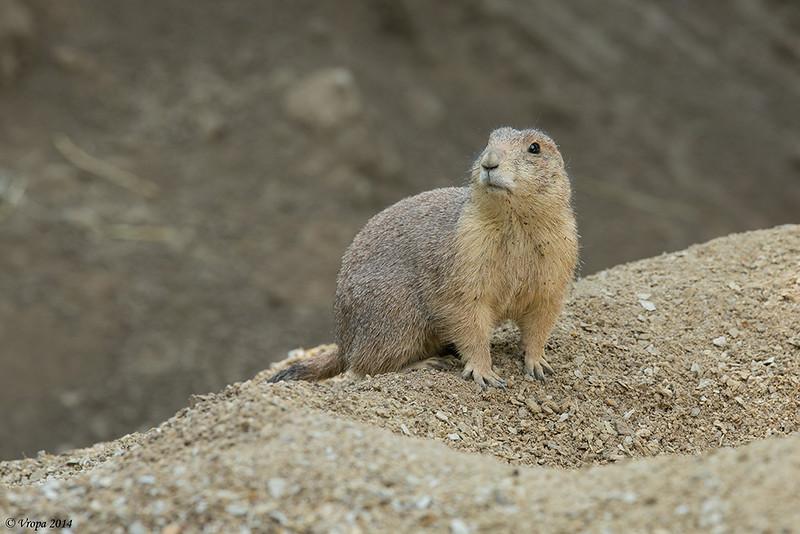 Marmot Pairi Daiza.