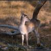 Damhert kalf/Fallow deer calf
