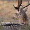 Damhert/Fallow deer