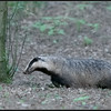 Das/Badger