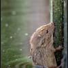 Dwergmuis/Harvest Mouse