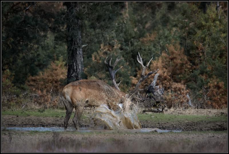 Edelhert/Red deer