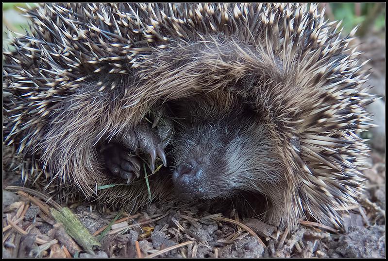 Egel/Hedgehog