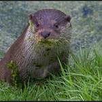Europese otter/European otter
