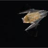Gewone Dwergvleermuis/Common Pipistrelle