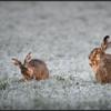 Haas/Hare