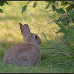 Konijn/Common rabbit
