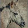 Konikpaard/Konik