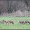 Sprong reeën/Group roe deer