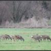 Sprong reeën/Group roe deer