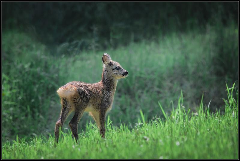 Reekalf/Roe deer fawn
