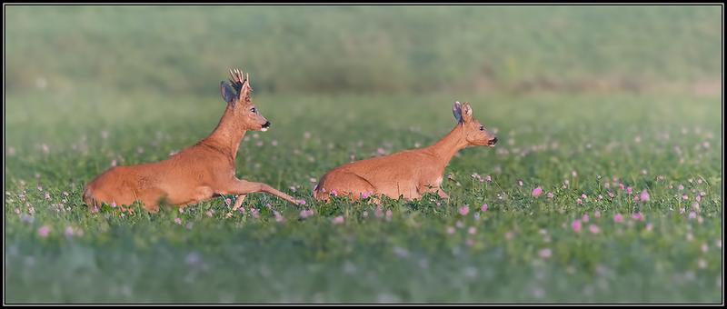 Reeënbronst/Deer mating season