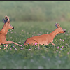 Reeënbronst/Deer mating season