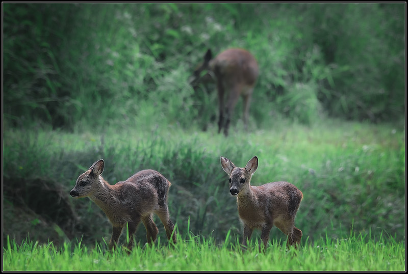 Reekalfjes/Roe deer fawns