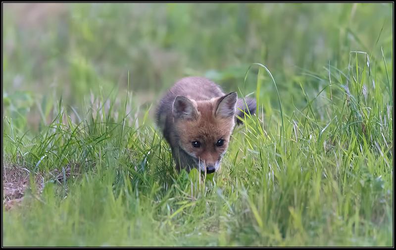 Vossenwelp/Fox cub