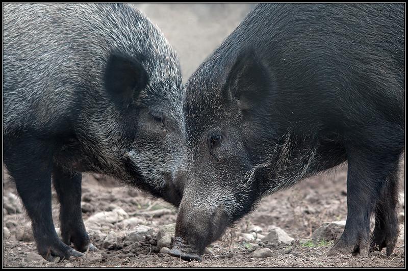 Wild zwijn/Wild boar