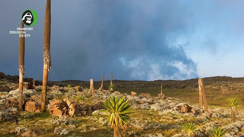 Giant lobelias (endemic to Ethiopia) on the Sanetti Plateau, Bale Mountains NP, Ethiopia. @ Daniel Rosengren