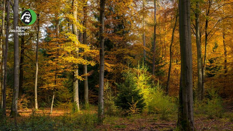 A Beech forest with some Larch in Echterspfahl, Bavaria, Germany. © Daniel Rosengren